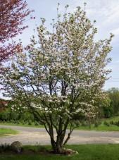 Cornus florida white