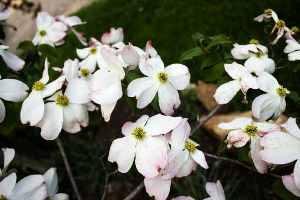 Cornus florida white flower