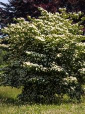 Cornus kousa - Kousa Dogwood_Spring View