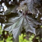 Crimson King Maple foliage