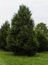 Eastern Red Cedar (1)