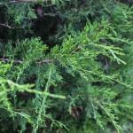 Eastern Red Cedar (3)