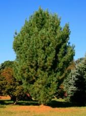 Fastigate white pine