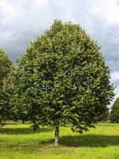 Green Mountain Silver Linden (1)