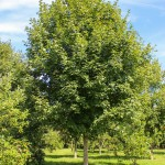Green Mountain Sugar Maple (1)