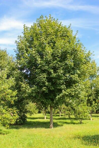 Green Mountain Sugar Maple (1)