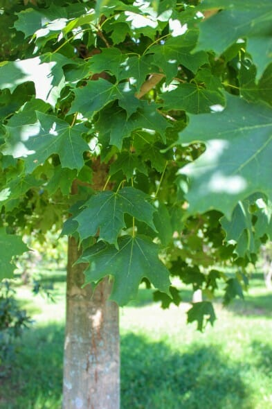 Green Mountain Sugar Maple (3)