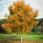 Green Mountain Sugar Maple (4)