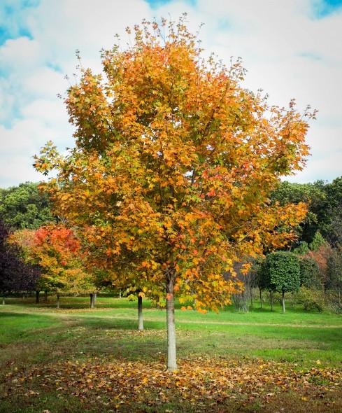 Green Mountain Sugar Maple (4)