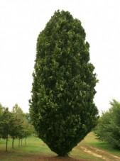 Green pyramidal beech