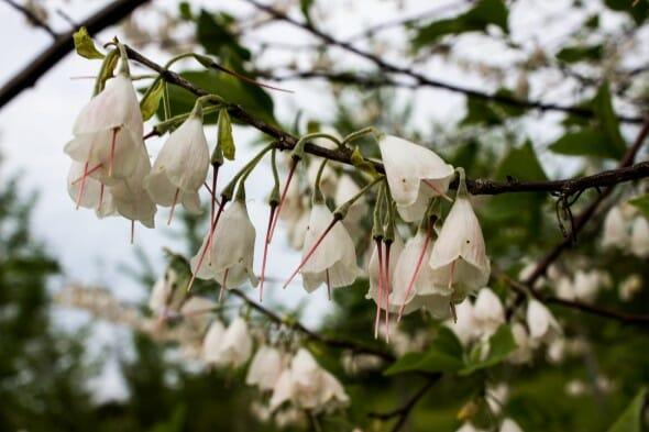 Halesia flower 2