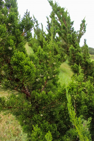 Hollywood Juniper (3)