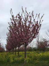 Kwanzan Cherry 6' Branching
