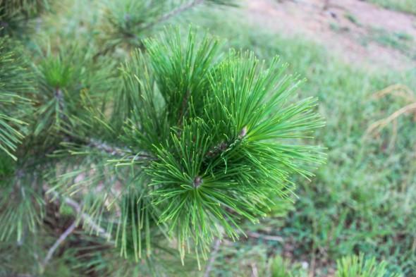 Japanese Black Pine (9)