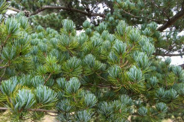 Japanese White Pine (3)