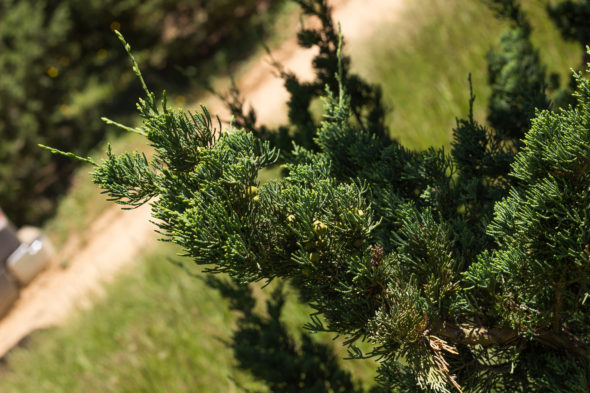 Juniperus chinensis - Robusta Green Juniper_Foliage View