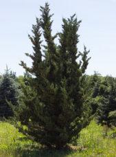 Juniperus chinensis - Robusta Green Juniper_Spring View