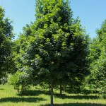 Legacy Sugar Maple (1)