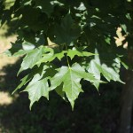 Legacy Sugar Maple (2)
