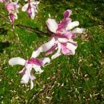 Leonard Messel Magnolia Flower