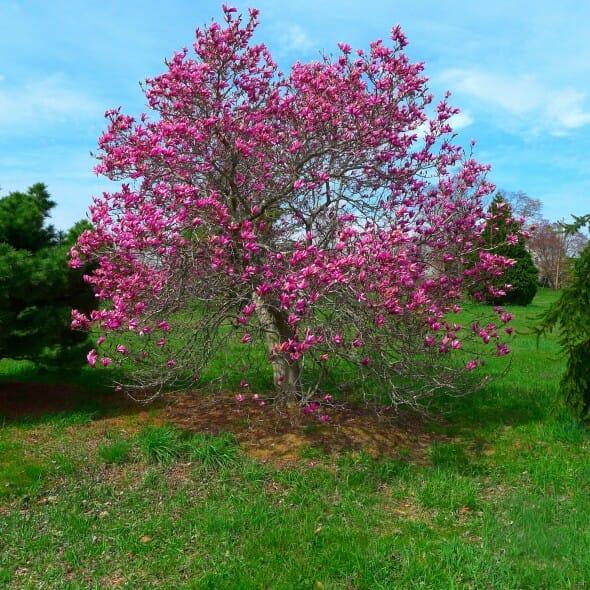 Magnolia alexandria (1)