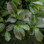 Magnolia dr merrill foliage