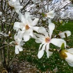 Magnolia dr. merrill (2)