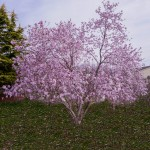 Magnolia leonard messel (2)