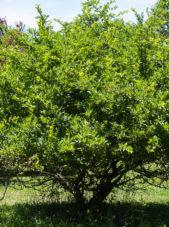 Malus sargentii - Sargent Crabapple_Spring View (2)