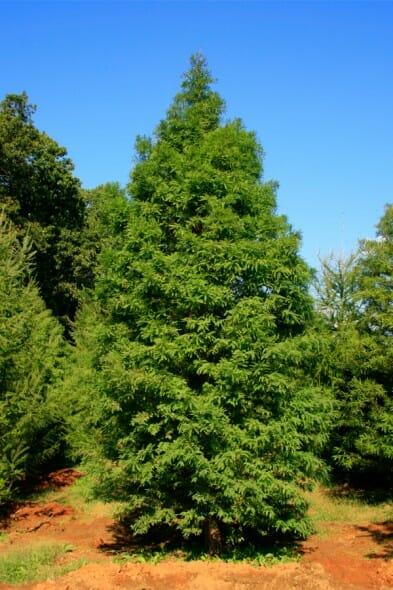 Metasequoia_glyptostroboides3b