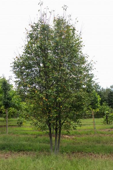 Multi-stem Alleghany Luster Serviceberry (1)