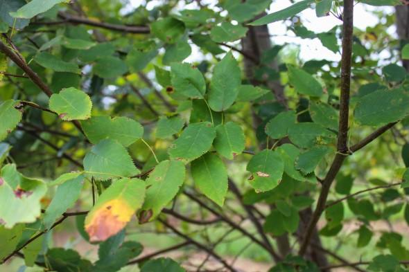 Multi-stem Alleghany Luster Serviceberry (2)