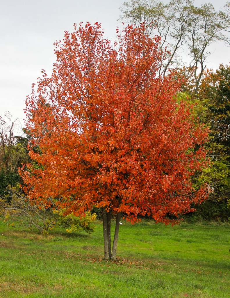 Multistem Red Sunset Maple
