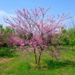Multistem eastern redbud