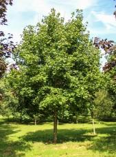 Norway Maple (1)