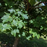 Norway Maple (2)
