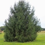 Norway Spruce (1)