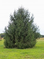 Norway Spruce (1)