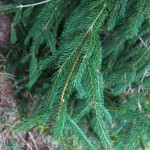 Norway Spruce (4)