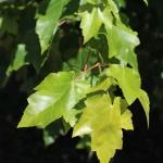 October Glory Maple (2)