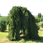 Picea_abies_pendula