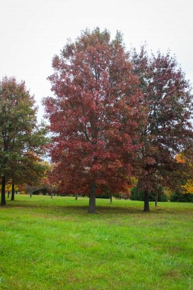 Pin Oak (1)