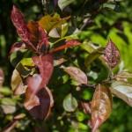 Prairie fire crabapple foliage