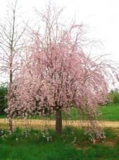 Prunus_subhirtella_Pendula3b