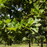 Quercus bicolor - Swamp White Oak_Foliage View