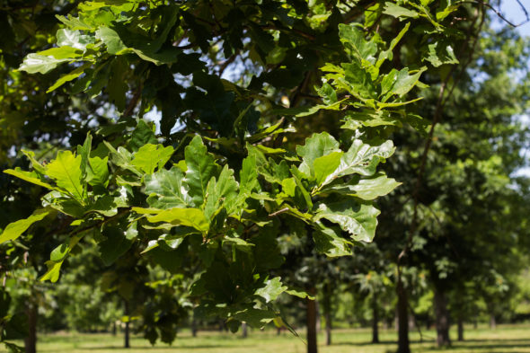 Swamp white oak halka nurseries