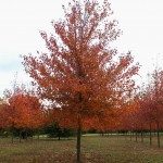 Red Sunset Maple (3)