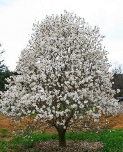 royal star magnolia halka nurseries. Black Bedroom Furniture Sets. Home Design Ideas