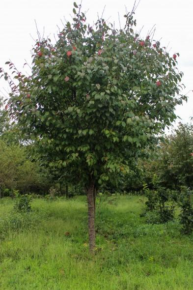 Sargent Cherry (1)