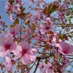 Sargent Cherry Flower_Internet